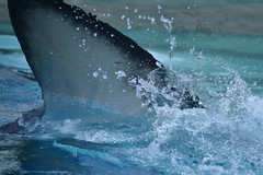 Kiska (Megakillerwhales) Tags: world ocean life sea wild nature animal animals nikon marine earth dolphin wildlife disney lolita dolphins zookeeper planet whale whales orca beluga belugawhale seaworld valentin shamu belugas animalplanet killerwhale marineland freya orcas killerwhales miamiseaquarium seaworldsandiego discoverychannel loroparque orcawhales marinemammals kiska cetaceans cetacean disneynature seaworldsanantonio animalphotography dolphinshow animalshow seaworldorlando belugawhales shamushow orcawhale wildlifephotography animalcloseups animaltrainer nationalgeaographic oneocean marinelandcanada dolphintrainer marinelandontario tillikum orcashow shamurocks marinelandfrance bbcnature marinemammaltrainer orcatrainer belugatrainer bbcearth nikond3100 belugashow megakillerwhales shamumiracles kiskaorca