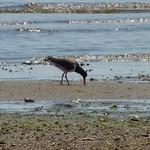 American Oystercatcher feeding thumbnail