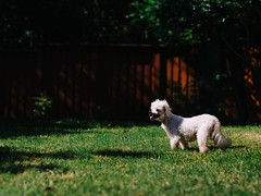 A wild Peanut appears (BurlapZack) Tags: portrait dog pet sunlight house home grass yard puppy daylight backyard bokeh weekend lawn shade pokemon pup maltese pooch dallastx pack06 peebreak addisontx elderlydog olympusmzuiko45mmf18 vscofilm olympusomdem5 awildxappears