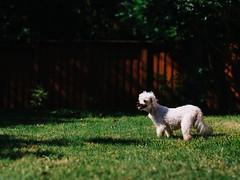 A wild Peanut appears (BurlapZack) Tags: portrait dog pet sunlight house home grass yard puppy daylight backyard bokeh weekend lawn shade pokemon pup maltese pooch dallastx pack06 peebreak addisontx elderlydog olympusmzuiko45mmf18 vscofilm olympusomdem5 awildxappears