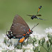 Great purple hairstreak (Atlides halesus) in wildflowers