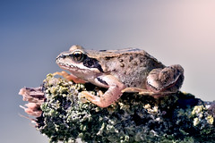 small toad (marcello.machelli) Tags: lake jump pond branch sunny amphibian frog toad rana ramo anfibio rospo