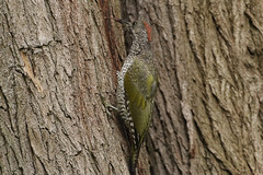 Groene Specht (European Green Woodpecker) 001310 (BZD1) Tags: bird nature birds animal vogels natuur aves bos dieren dier animalia picusviridis vogel groenespecht veren vleugels picus chordata spechten piciformes picidae chordadieren spechtvogels kalmthoutbelgie