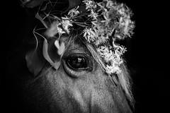flower girl (Jen MacNeill) Tags: flowers blackandwhite bw horse eye closeup wreath rockymountain equine littledoglaughednoiret