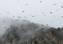 Buitres en la niebla / Vultures in the mist (berserker170) Tags: 7d 150500 canon sigma fog mist niebla mountain montaña winter vulture buitre wilderness aire libre flickrexploreme