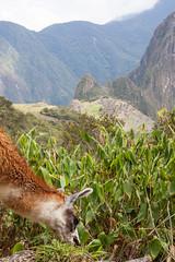 Grazing Llama,  Overlooking Machu Picchu