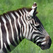 Binder Park Zoo 05-20-2015 - Grants Zebra 10