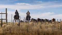Cowboys Working (Jerry Fornarotto) Tags: ranch west male animal rural work bush cowboy driving ride cattle cows action outdoor handmade traditional country working lifestyle brush riding western wyoming activity rancher livestock rider equestrian horseback authentic wy herding argricultural jerryfornarotto horsemammal