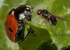 7-spot ladybird Coccinella 7-punctata + 1 (Simon Robson) Tags: ladybird