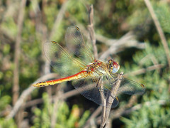 Sympetrum fonscolombii (m, jung) Algarve Pt , NGIDn1649109196 (naturgucker.de) Tags: sympetrumfonscolombii naturguckerde port10cabodesaovincente ngidn1649109196 chartwigstobbecabodesaovicenteportugal