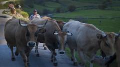 Llindiando (Oscar F. Hevia) Tags: espaa cow spain cowboy cows shepherd flock asturias ganado rancher pastor won somiedo vaca vacas vaquero asturies rebao principadodeasturias villardevildas parquenaturaldesomiedo ganadero guiarelganado guidethecattle llindiar llindiando