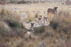 NAMIBIA 2015 @ 02 - 6498 (hanktattoo) Tags: africa park wild moon nature animal animals rock landscape bush sand paint desert leo harbour african wildlife lion mother sandwich national valley tropic dust namibia paesaggio etosha solitaire capricorn engravings sossusvlei panthera 2015 albedo damaraland allaperto twfelfontein