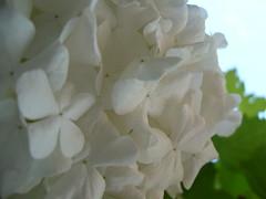 Suavidad (0_Detalles_0) Tags: flower petals soft flor textures texturas ptalos suaves