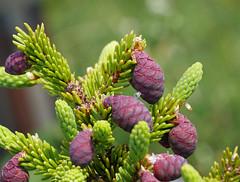 Bog Tamarack (foxtail_1) Tags: novascotia capebreton tamarack cabottrail bogtrail capebretonhighlandsnationalpark larixlaricina panasonicg7