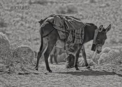 #petsandanimals #photography #nature #hdr #bw  #blackandwhite #love #freetoedit #food  #animal #animals #Sheep #lamb #donkey #donkeys # # # # # # # Sonyalpha #sony #alpha  #qaseem # # # #_ (photography AbdullahAlSaeed) Tags: blackandwhite bw food love nature animal animals photography sheep donkeys sony donkey lamb alpha hdr  petsandanimals    qaseem       freetoedit