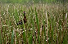 Ducks in a Blind (dlbinnie) Tags: duck blind hidden camouflage grassland
