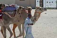 doha camel race (18) (Parto Domani) Tags: animal animals race radio robot corse arabic east camel arab oriente practice middle peninsula medio animali animale  doha qatar corsa arabica cammello  arabo penisola dromedario araber     cammelli  dromedari
