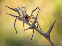 Hello! (Ramn Menndez Covelo) Tags: detalle detail macro nature bug insect spider eyes focus fear small olympus ojos patas stacking araa miedo bicho pequeo macrophotography bracketing macrofotografa enfoque apilado mirrorless horquillado