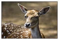 A l'coute ! (Nadine.Dvx) Tags: animal dine daim cervid daine