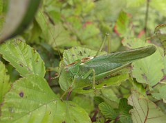 Tettigonia viridissima - Great green bush-cricket (rockwolf) Tags: france insect dordogne cricket orthoptera 2015 cercles bushcricket greatgreenbushcricket rockwolf terresblanches tettigoniavridissima
