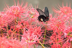 Autumn colors (miwakai) Tags: nature autumn butterfly black red flower flowers flying macro macrodreams
