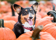 Koda Bear (Brian.Buckler) Tags: chicago il 5d corgi kodabear pembroke welsh dog cute pumpkin october halloween fall 2016 50l tri color black smile dogphotographer brianbuckler