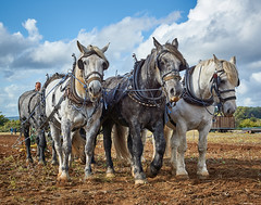 DSC05713 (Andy Oldster) Tags: eashing godalming farm plough ploughing heavyhorses shire sony alpha a65 slt