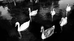 cruisin (Feroswelt) Tags: summer ending cruisin what up yeah chillin gang swan swans feroswelt vienna park wien