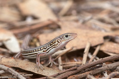 Hamelin Pool Ctenotus (Ctenotus zastictus) (BenParkhurst) Tags: wa western australia hamelin station reserve outback fauna reptile threatened endemic pool ctenotus zastictus