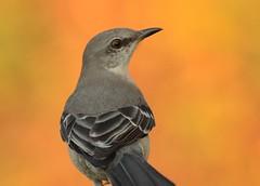 Fall portrait (hennessy.barb) Tags: mockingbird northernmockingbird mimuspolyglottos bird birdportrait fall orange animal outdoors nature barbhennessy