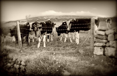 A bleary eyed welcome (Missy Jussy) Tags: cows animals farming farmland field drystonewalls barbwire fence clouds sky hills wales morning gwynedd garndolbenmaen canon cannon600d sepia mono monochrome landscape