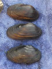 2016-09-20 003 (illinoisriverwatch) Tags: r0209103 mussel unionidae giant floater cylindrical papershell anodontoides ferussacianus pyganodon grandis
