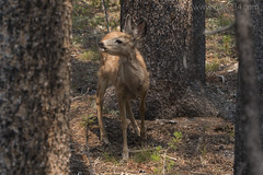 "Mule Deer (fawn) • <a style=""font-size:0.8em;"" href=""http://www.flickr.com/photos/63501323@N07/30102049784/"" target=""_blank"">View on Flickr</a>"