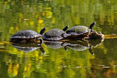Log On (brev99) Tags: turtles pond reflections gilcreasemuseum tamron180f35 d7100 nikviveza perfecteffects10 ononesoftware water ngc highqualityanimals