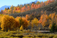 _DSC8343 (DianeBerky19) Tags: nikondf wy jacksonholewyoming trees aspen
