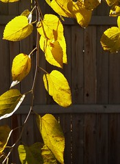 Leaves of gold (MissyPenny) Tags: nature november bristolpennsylvania autumn gold yellow leaves sunlight branches shadows