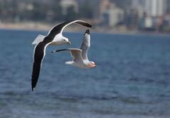Kelp Gull (boombana) Tags: kelpgull sydney 2016 larusdominicanus larus gull silvergull seagull chroicocephalusnovaehollandiae chroicocephalus