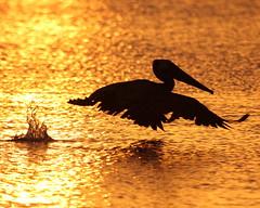 Sunset Pelican (dbadair) Tags: st pete ft desoto fl florida sunset pelican inflight flight bird wildlife shore gulf