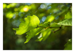 19/31: Lush leaves (judi may - more off than on) Tags: october2016amonthin31pictures salaryforest northamptonshire leave green light bokeh dof depthoffield forest tree canon7d