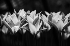 Reaching (justingreen19) Tags: flowers india springflowers tulipa blackandwhite chrysantha clusiana cluster creative darkness flower garden justingreen19 light mono petal petals plants springbulbs tulip tulips nature horticulture