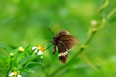 Dancing Queen (cattan2011) Tags: landscapephotography landscape travelblogger traveltuesday travel hongkong wildlifewednesday wildlifephotography wildlife natureperfect naturephotography nature butterfly