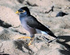 Maui Myna Bird (joybidge (0n vacation)) Tags: trishcanada naturepatternscanada mauihawaii hawaii hawaiianvacation