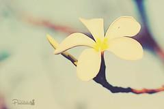 Grow, Bloom, Blossom (PureClicks) Tags: flower wildflower soloflower macro macroflower pureclicks dop depthoffield garden gardenwalk white 50mmlens canon canon600d blur outdoor