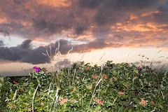 Hybenroser, Hjby Lyng Strand 2016 (Appaz Photography ) Tags: appazphotography denmark hjby hjbylyng hjbylyngstrand korevlerne odsherred sjlland solen solnedgang sun sunset