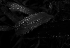 Droplets III (MortenTellefsen) Tags: droplets drops artinbw blackandwhite bw macro water raindrops regndrpe svarthvitt norway norwegian nature natur norsk pearls perler canon 550d