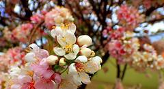 BLOSSOM BOKEH (Lani Elliott) Tags: japanese japanesecherrytree cherrytree pink bokeh light prunus flowers blossom blossoms spring springflowers nature naturephotography brilliant wow