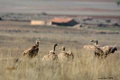 Buitres (Enllasez - Enric LLaó) Tags: gallocanta buitres bulto aves aus ocells rapaces rapinyaires
