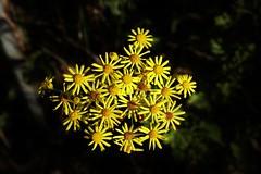 Wildblume (Hugo von Schreck) Tags: hugovonschreck wildblume wildflower flower blume blte outdoor macro makro canoneos5dsr tamron28300mmf3563divcpzda010