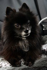 Along for the Ride (Melissa_JMH) Tags: dog bella friend ride car bed lie lay sit wiskers whiskers nose grey black bark barking cute beautiful best eyes dof wispy whispy driving