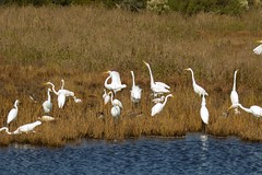 7K8A3867 (rpealit) Tags: scenery wildlife nature chincoteaque national refuge great egrets egret bird